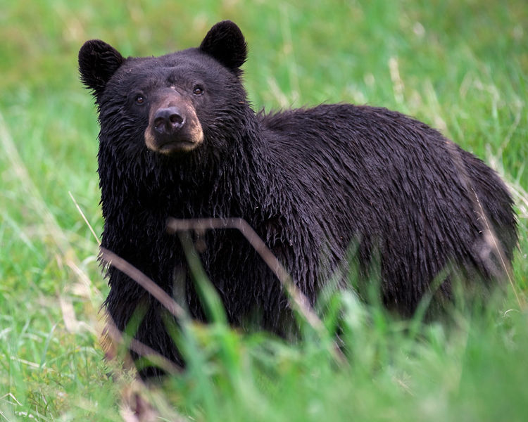 750px-Black_bear_Yellowstone_NP_2008