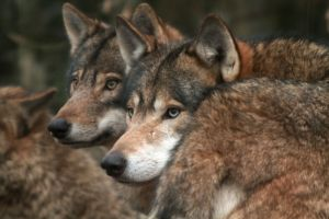 """Wisconsin wants to """"legally"""" kill 156 wolves this year."""