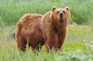 800px-2010-kodiak-bear-1