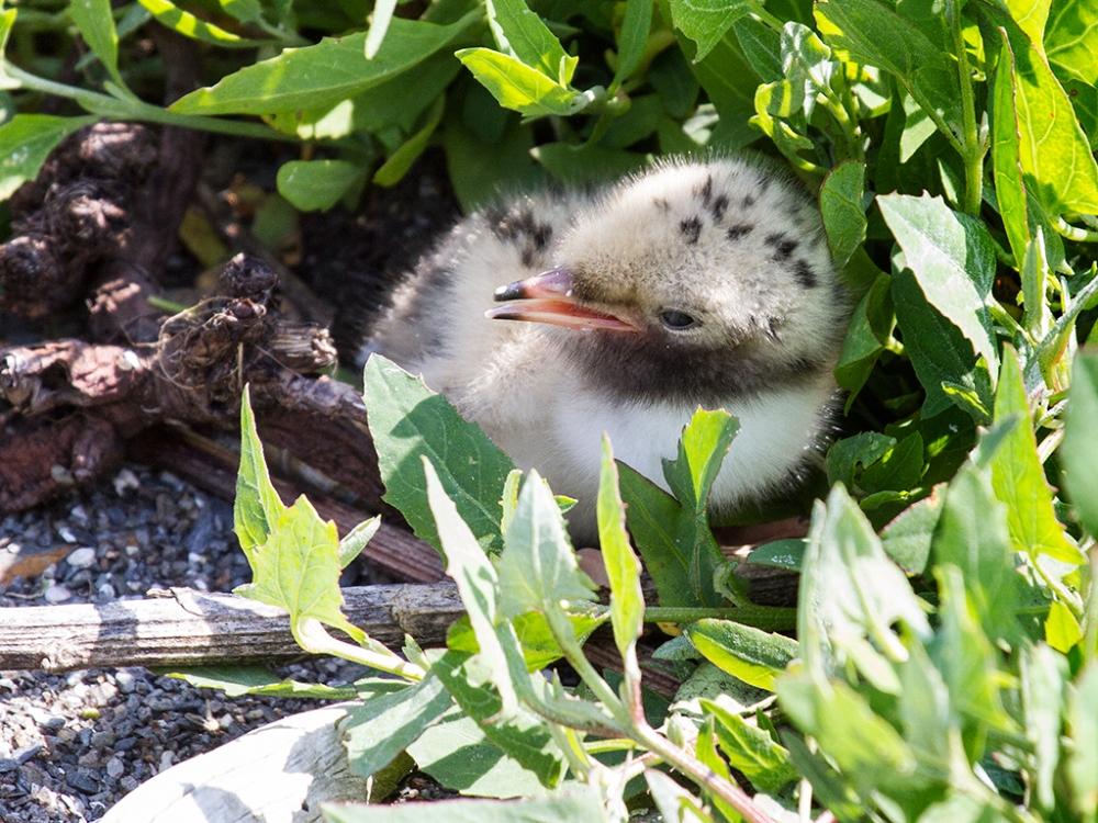 Common Tern Chick-Via Wikimedia Commons