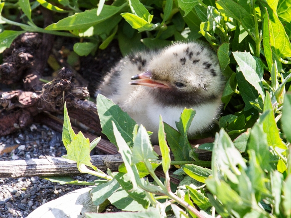 Common Tern Chick-Via Wikimedia Commons
