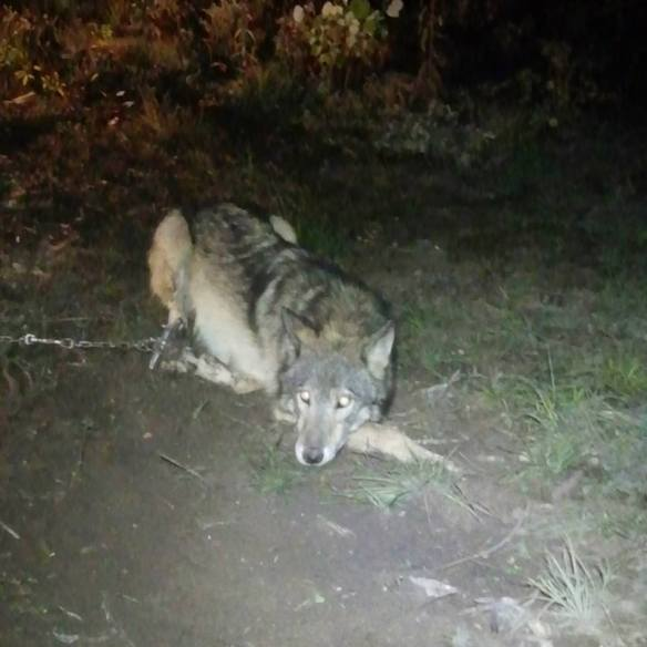 This picture out of the Wisconsin killing fields has been making the rounds on the internet.  This is just one of the 85 wolves reported killed since last Wednesday.