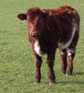 beef_shorthorn_calf