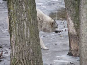 Photo by Cindi Micheau of a big bad wolf looking to eat some grandchildren.