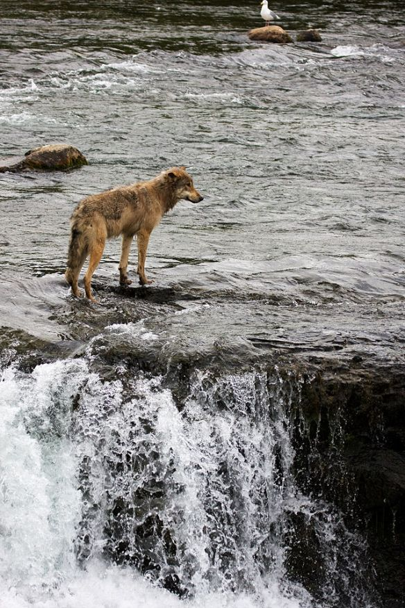 """Wolf by Brooks Falls"" by BlackburnPhoto from Overland Park, KS, USA - Wolf by Brooks Falls."