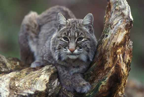 Bobcat_sitting_in_tree