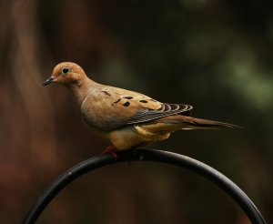 Killing thousands of these docile birds for sport is considered a