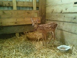 Giggles the fawn. Killed by the DNR on July 15, 2013.