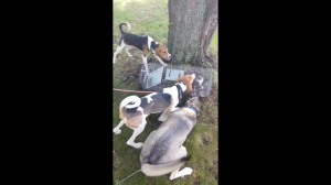Wisconsin bear hounder allowing his dogs to torment trapped cat.