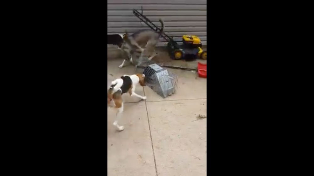 Different trapped cat being tormented by bear hounds.  Still shared under Fair Use.
