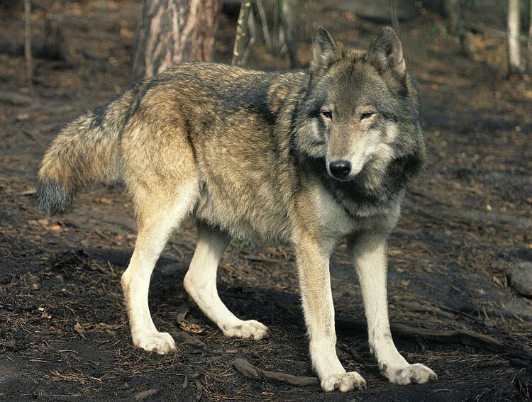 Canis-lupus