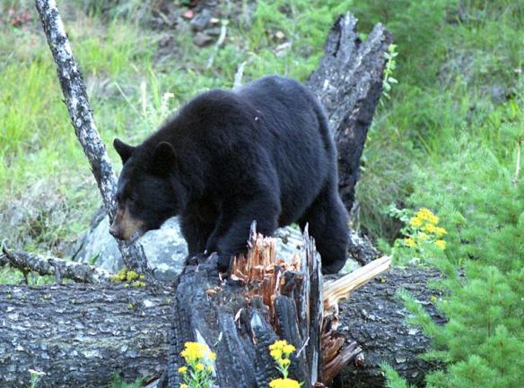 The_black_bear