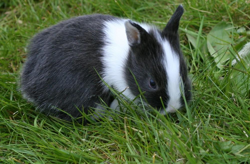 Young_Netherland_Dwarf_rabbit